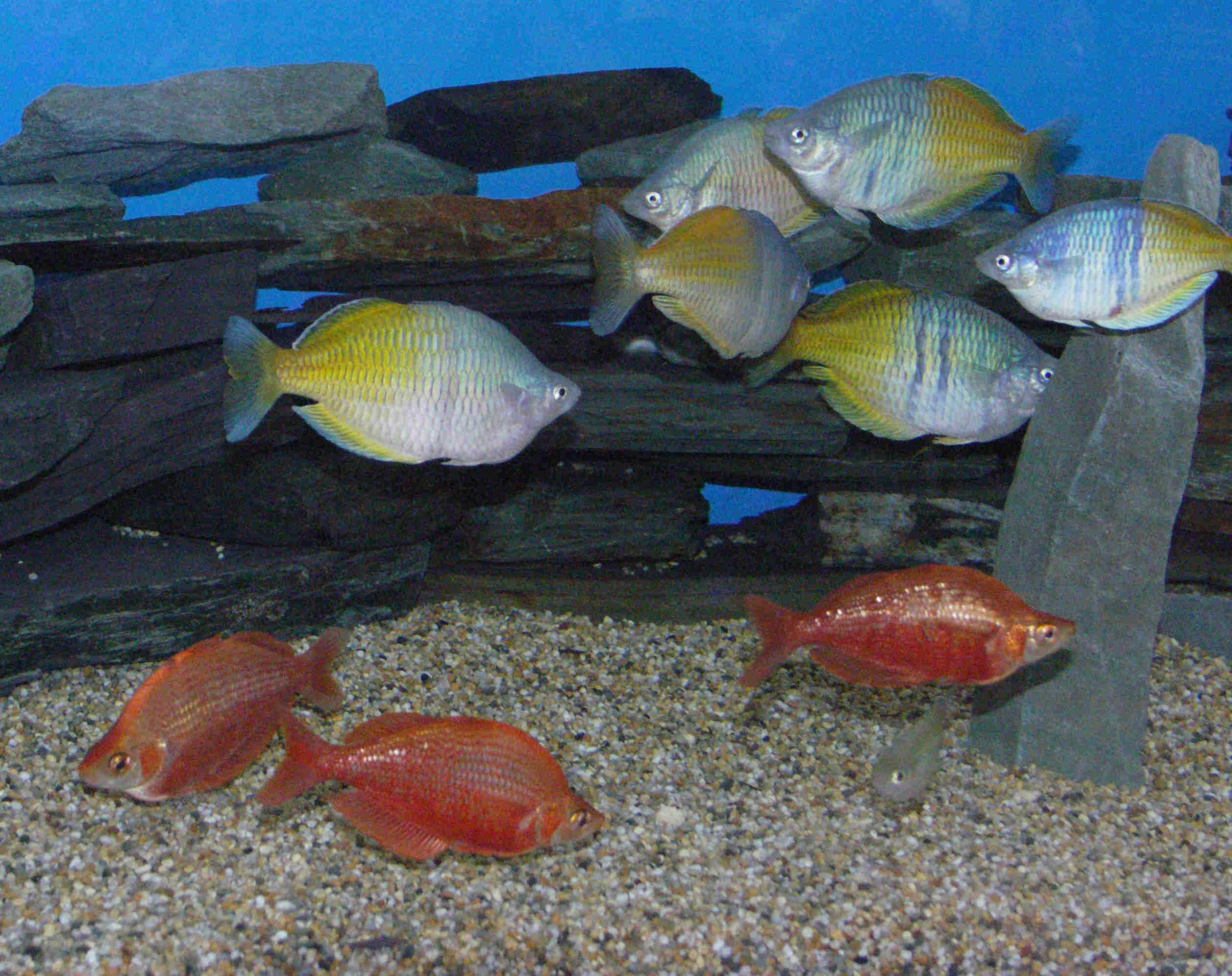 Google images for Brackish water fish